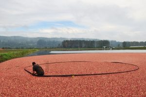 person at cranberry farm
